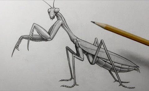 How To Draw A Praying Mantis Easy Step By Step Easy Animals To Draw