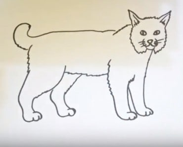 How to draw a bobcat easy step by step