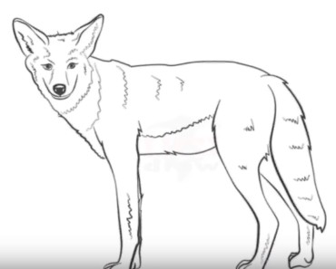 How to draw a coyote easy step by step
