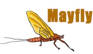 How to Draw a Mayfly step by step