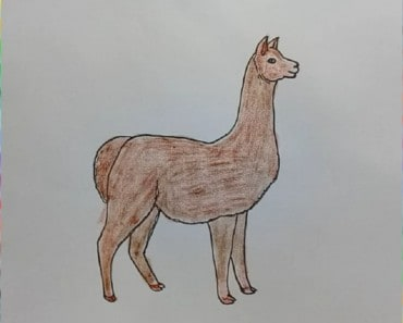 How to Draw an Alpaca step by step
