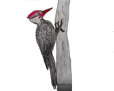 How to draw a woodpecker step by step - Bird drawing easy