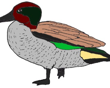 How to Draw a Teal step by step - Easy animals to draw