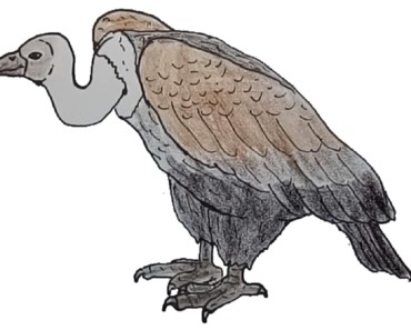 How to Draw a Vulture step by step - Bird drawing easy