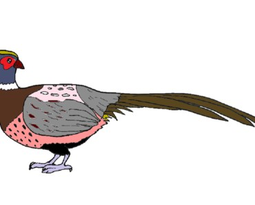 How to Draw a Pheasant step by step for kids