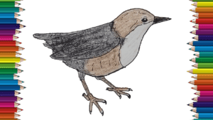 How to Draw a Dipper bird step by step - Dipper bird drawing easy