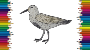 How to draw a Dunlin bird easy for kids - Dunlin Bird drawing step by step