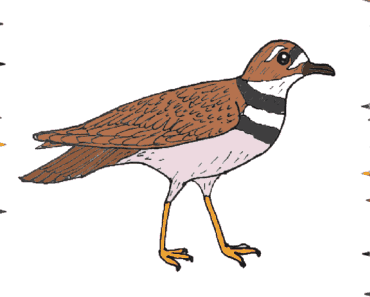 How to draw a killdeer step by step - bird drawing easy
