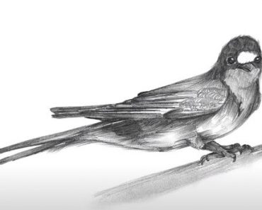 How to Draw a Barn Swallow step by step