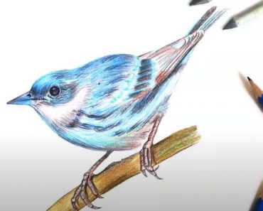How to Draw a Cerulean Warbler step by step