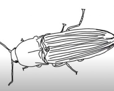 How to Draw a Click Beetle step by step