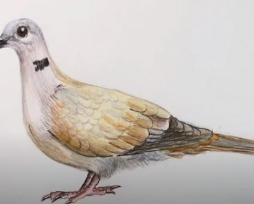 How to Draw a Collared Dove step by step