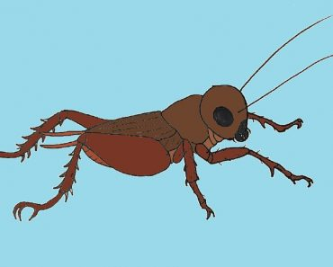 How to Draw a Field Cricket