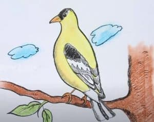 How to Draw an American Goldfinch step by step