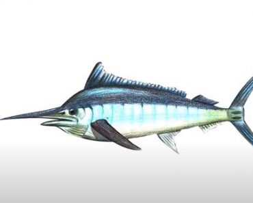 How to Draw a Black Marlin step by step