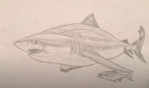 How to Draw a Bull Shark