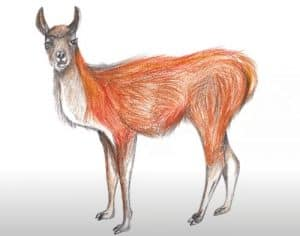 How to Draw a Guanaco step by step
