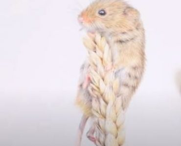 How to Draw a Harvest Mouse step by step