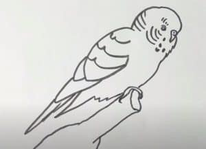How to Draw a Monk Parakeet