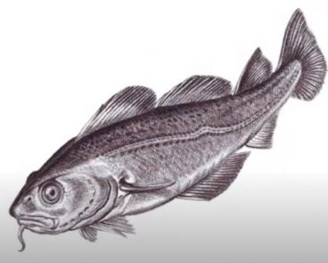 How to Draw an Atlantic Cod