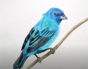 How to Draw an Indigo Bunting step by step