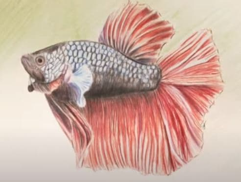 How To Draw A Betta Fish How To Draw Step By Step