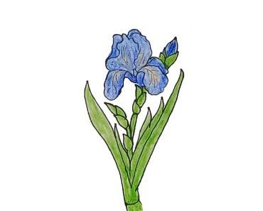 How to draw an iris flower