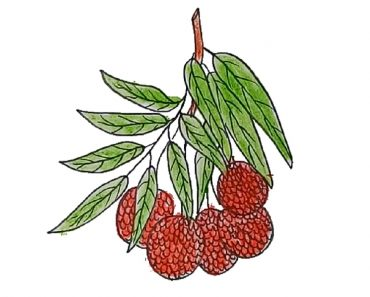 How to draw litchi