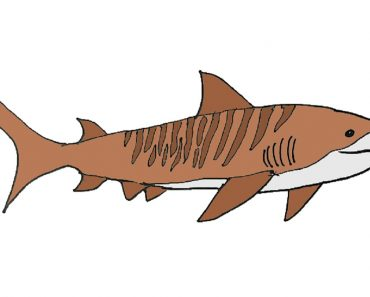 How-to-draw-tiger-shark