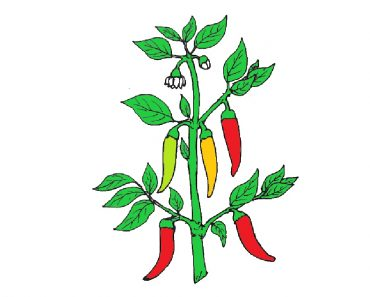 How to draw a capsicum