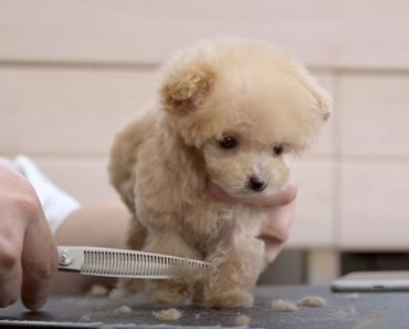 Puppies are very small, the first way trimmed 3 months old