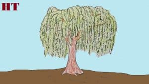 Willow tree drawing