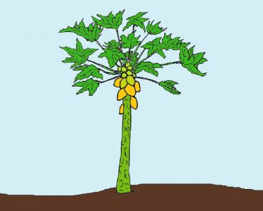 papaya tree drawing