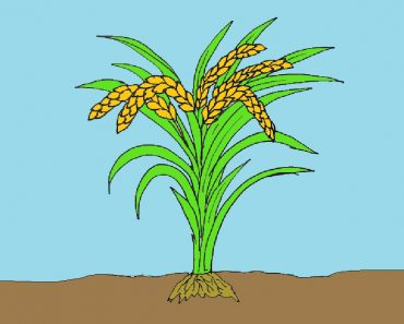 how to draw rice plant
