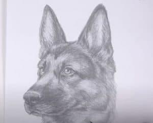 How to Draw a German Shepherd (Head Detail)