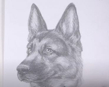 How to Draw a German Shepherd (Head Detail)