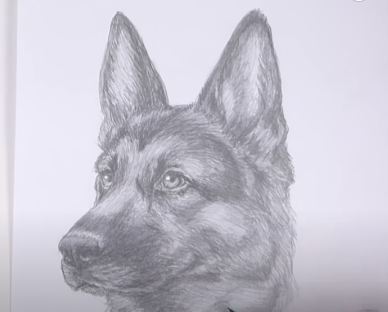 How To Draw A German Shepherd Head Detail Dog Pencil Drawing Tutorial