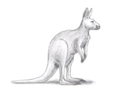 Kangaroo drawing with pencil for beginners