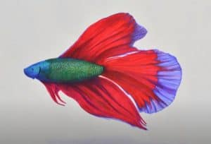 How to Draw a Betta Fish easy for beginners
