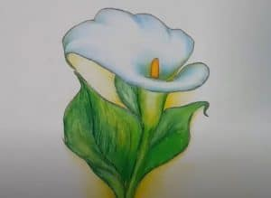 How to draw a Calla Lily Flower step by step