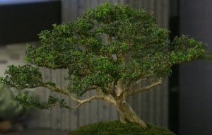 How To Care For A Bonsai Tree Step By Step