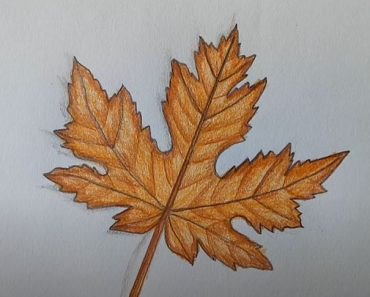 How To Draw A Maple Leaf Step by Step Easy
