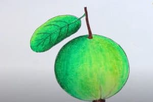 How to Draw a Guava Step by Step - Fruit Drawings