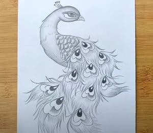 How to draw a Peacock with Pencil Step by Step