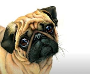 How to draw a Pug by Pencil - Dog Drawing Easy