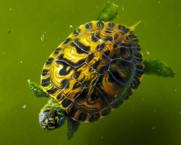 Realistic Turtle Drawing with pencil - How to draw a Turtle Step by Step