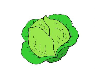 cabbage drawing easy for beginners