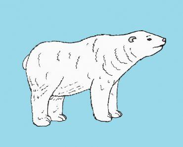 polar bear drawing easy for Beginners