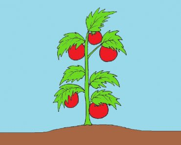 tomato plant drawing easy for Beginners