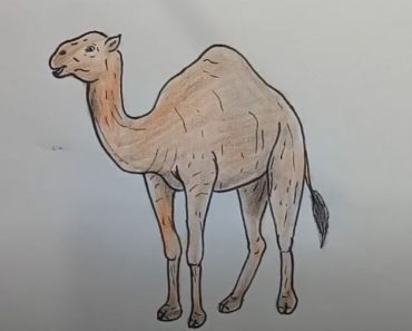 Camel Drawing Step by Step - How to draw a Camel Easy